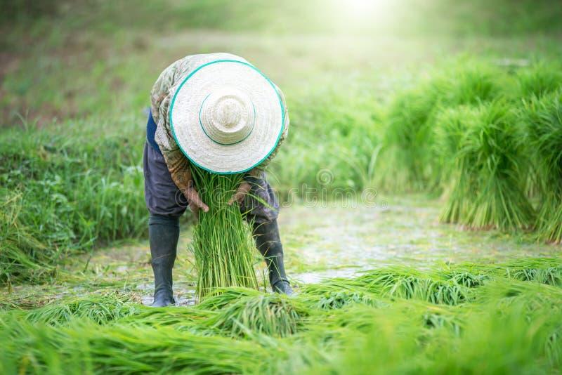 Le riz met en place, des terrasses, plantation, ferme Une ferme asiatique organique de riz photos stock