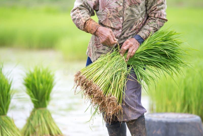 Le riz met en place, des terrasses, plantation, ferme Une ferme asiatique organique de riz photos libres de droits