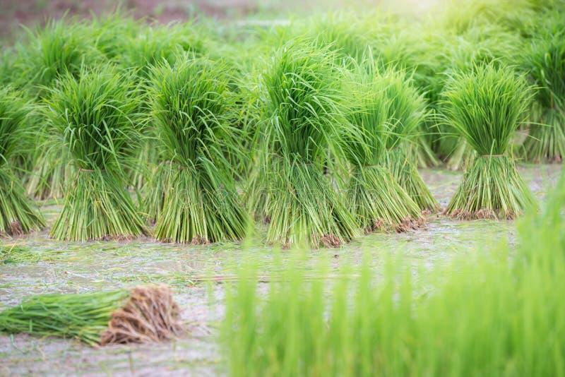 Le riz met en place, des terrasses, plantation, ferme Une ferme et une agriculture asiatiques organiques de riz images stock