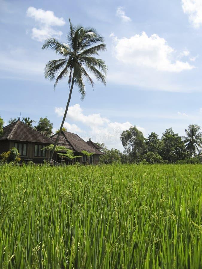 le riz vert met en place la villa bali images libres de droits