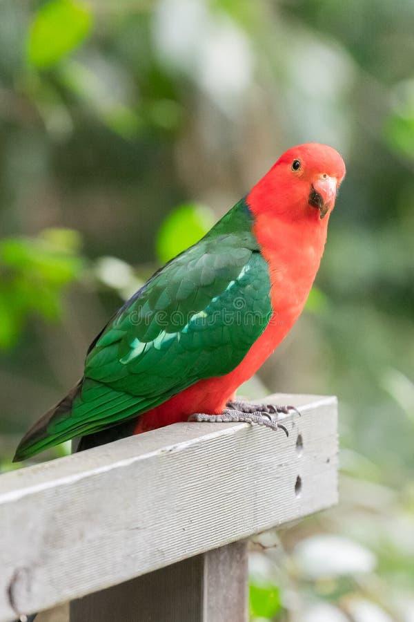 Le Roi australien masculin Parrot dans un jardin de Sydney images libres de droits