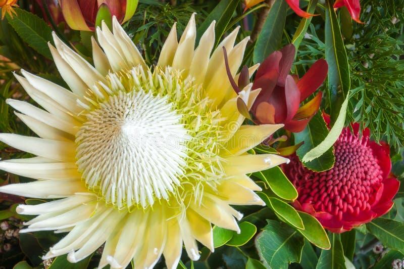 Le Roi blanc Protea - fleur indigène australienne photographie stock