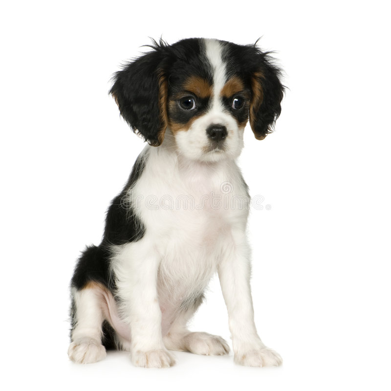 Le Roi cavalier Charles Spaniel (3.5 mois) photo stock