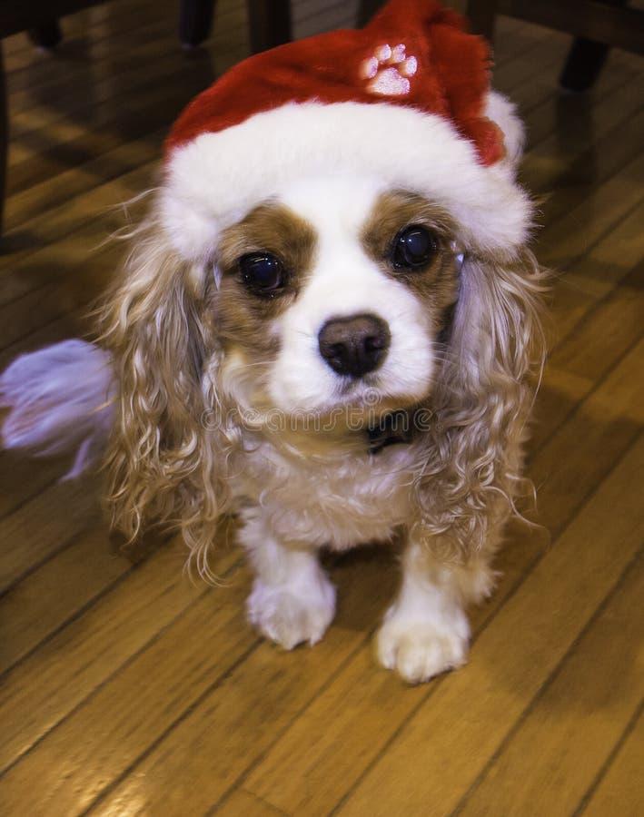 Le Roi cavalier Charles Spaniel avec le chapeau de Noël images libres de droits