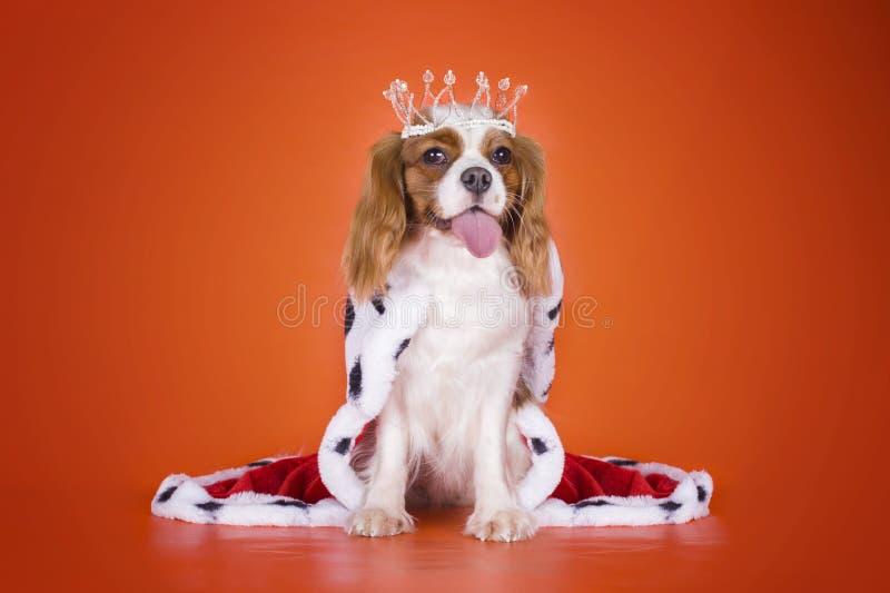 Le Roi cavalier Charles Spaniel de chiot dans un costume de la reine dessus ou images libres de droits