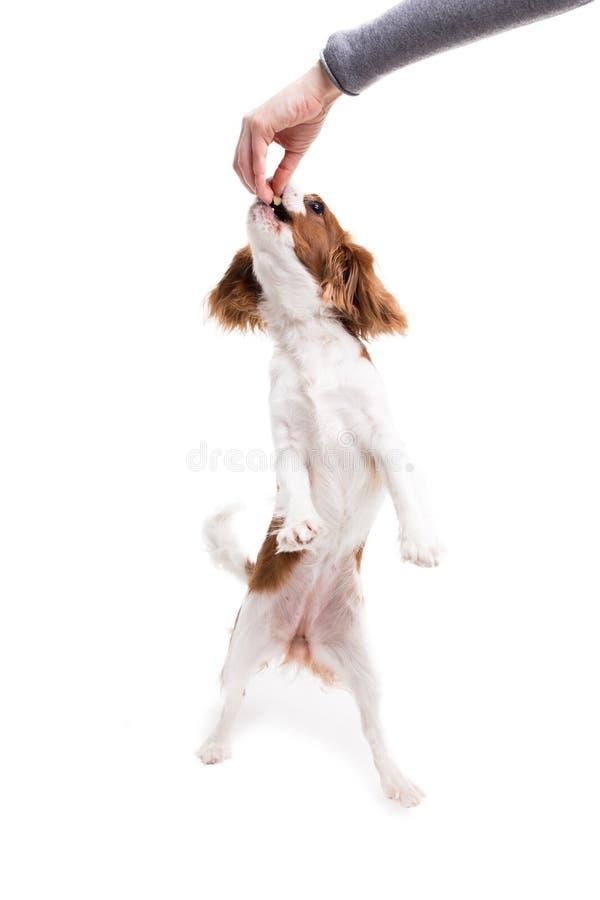 Le Roi cavalier Charles Spaniel saute, essayant d'attraper la nourriture dans le studio sur le fond blanc - isolat avec l'ombre image stock