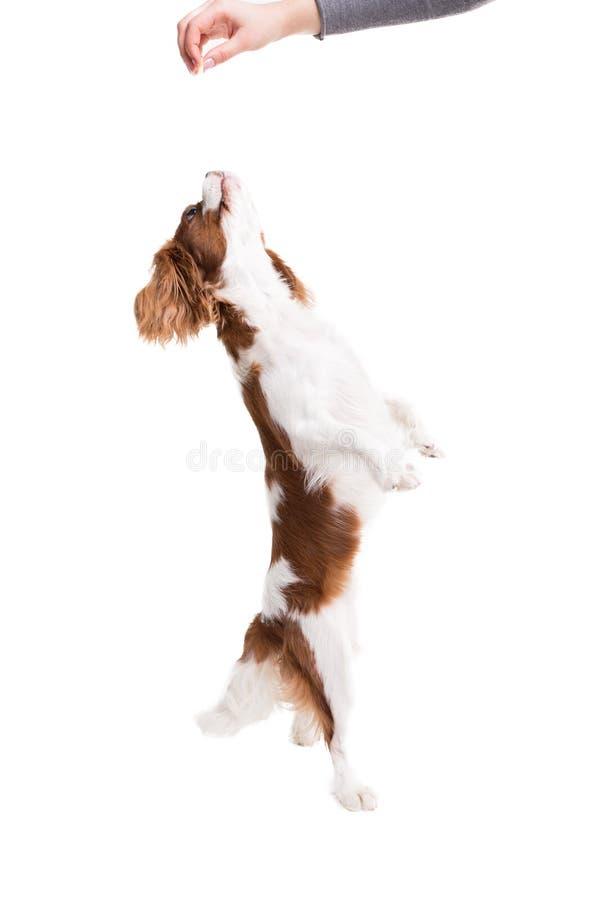 Le Roi cavalier Charles Spaniel saute, essayant d'attraper la nourriture dans le studio sur le fond blanc - isolat avec l'ombre photographie stock libre de droits