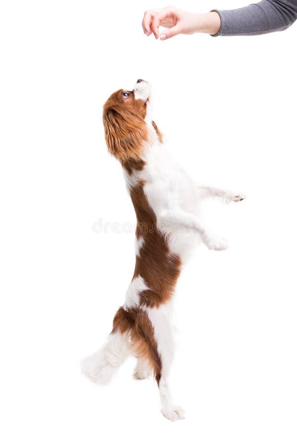 Le Roi cavalier Charles Spaniel saute, essayant d'attraper la nourriture dans le studio sur le fond blanc - isolat avec l'ombre photos libres de droits