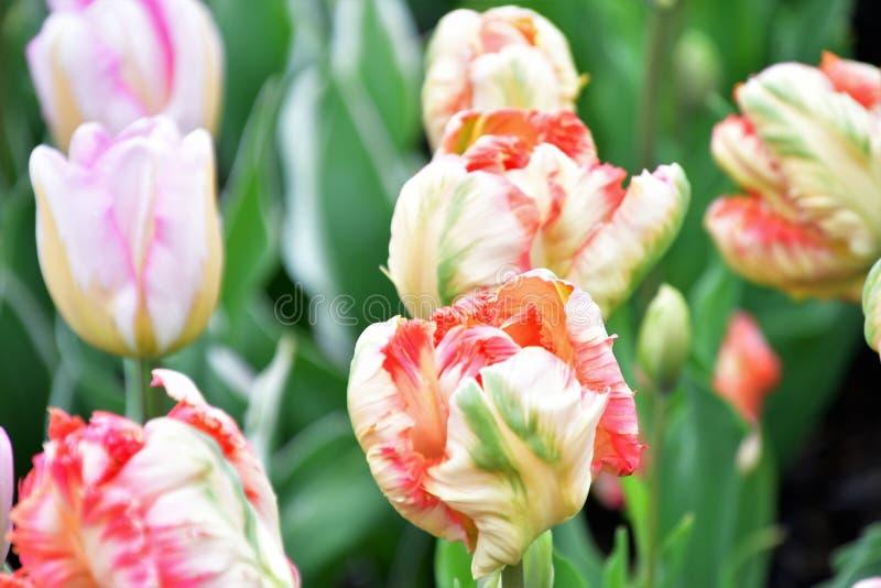 Le ROI de PERROQUET est un genre de tulipe de perroquet photos libres de droits