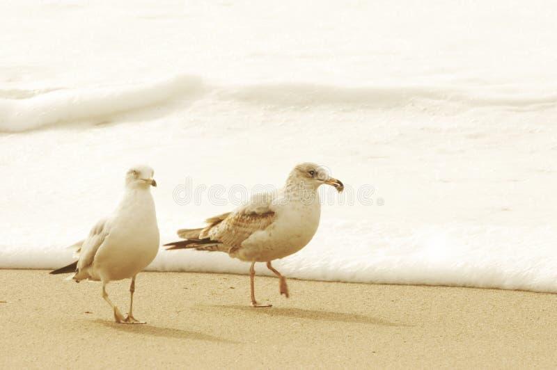 Le Roi Gulls, Santa Barbara Channel, l'océan pacifique, la Californie de la Californie image stock