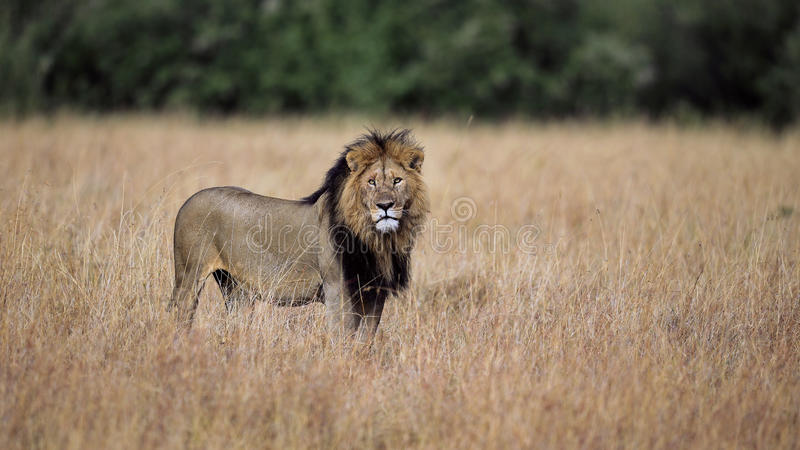 Le roi, lion dans le masai Mara image stock