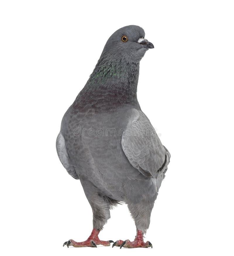 Le Roi noir Pigeon d'isolement sur le blanc photo libre de droits