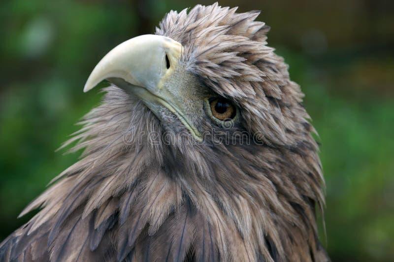 Le roi-oiseau. photo libre de droits