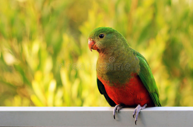 Le Roi Parrot photos stock
