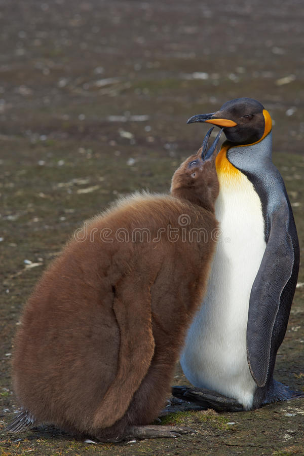 Le Roi Penguin et poussin affamé - Falkland Islands image stock