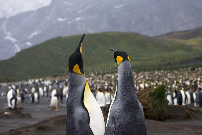 Le Roi Penguin, Koningspinguïn, patagonicus d'Aptenodytes photos stock