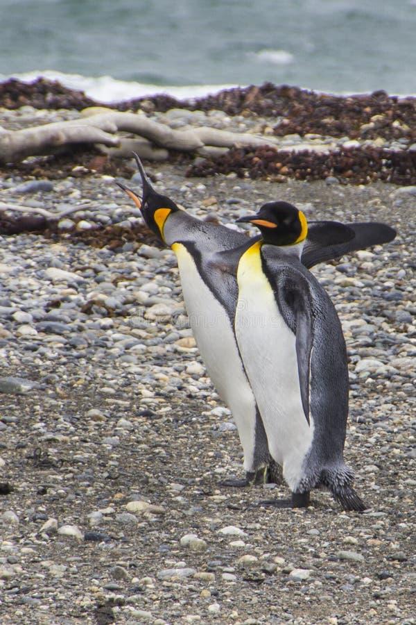 Le Roi Penguins à l'intérieur de Tierra del Fuego Land, Chili image libre de droits