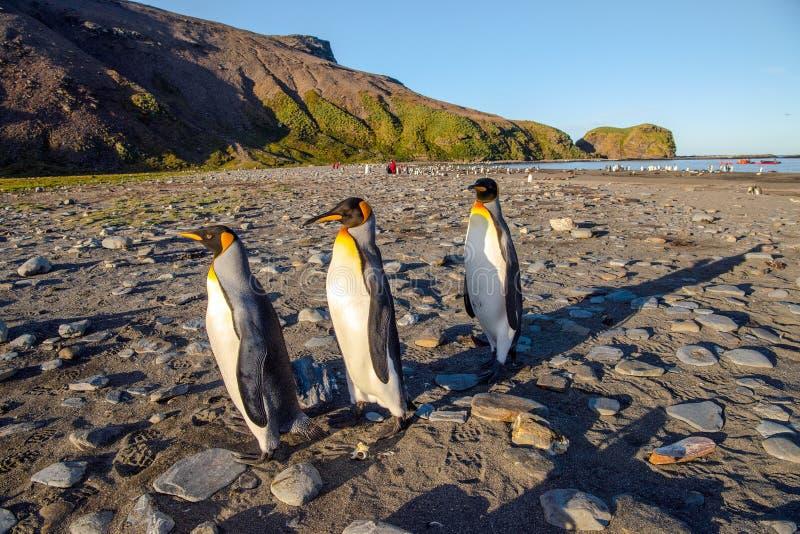 Le Roi Penguins sur la plage ? St Andrews Bay - polaire photos stock