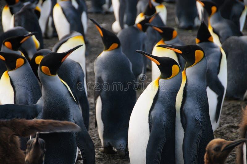 Le Roi Penguins sur le port d'or photos libres de droits