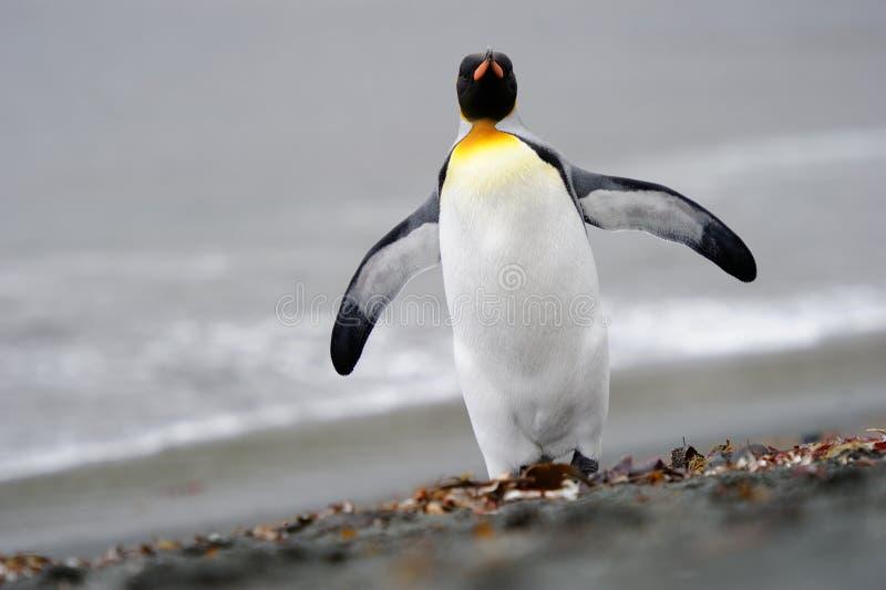 Le Roi pingouin photo libre de droits