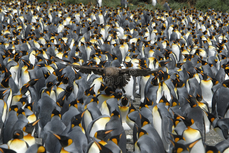 Le Roi pingouin photos stock