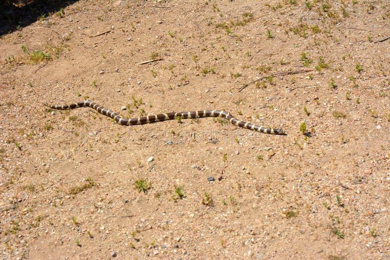 Le Roi Snake de la Californie de parc national de sommets image libre de droits