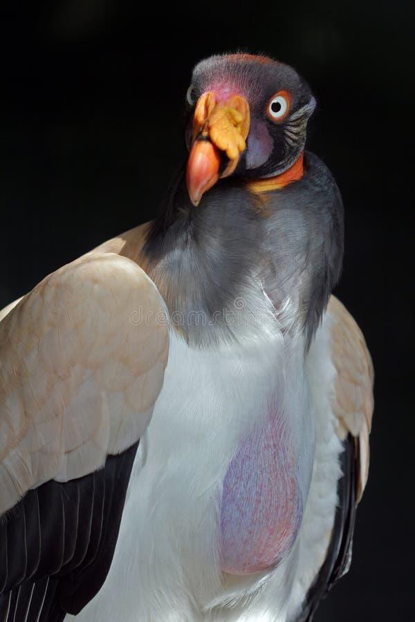 Le Roi vautour images libres de droits