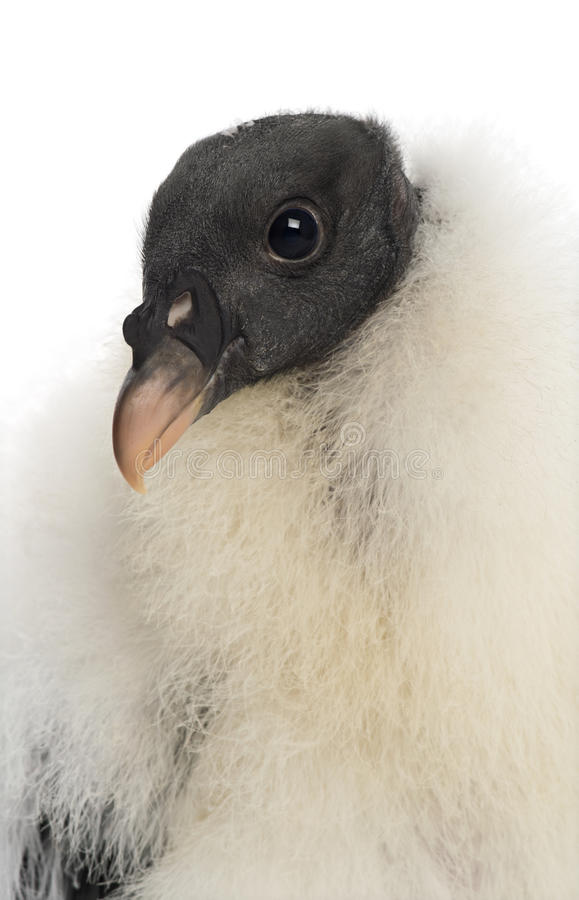 Le Roi vautour, papa de Sarcoramphus, 3 mois image libre de droits