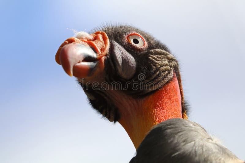 Le Roi Vulture photographie stock