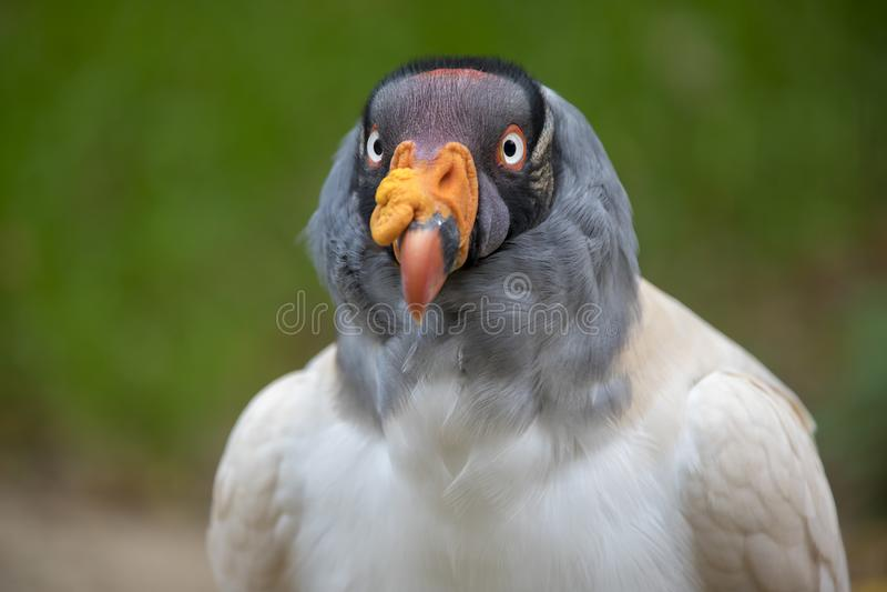 Le Roi Vulture photos stock