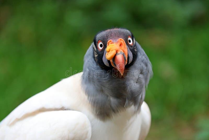 Le Roi Vulture photos libres de droits