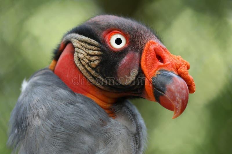 Le Roi Vulture photo stock