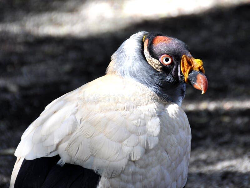 Le Roi Vulture images libres de droits
