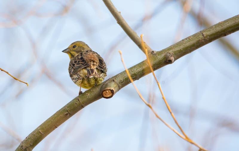Le roitelet eurasien assied sur la branche de l'arbre photographie stock libre de droits