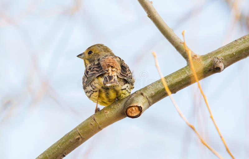 Le roitelet eurasien assied sur la branche de l'arbre, vue arrière, fin  photo stock