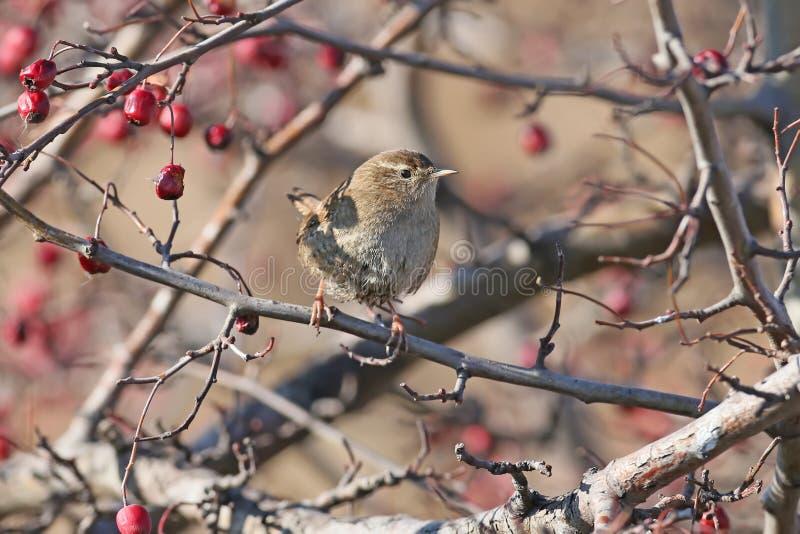 Le roitelet eurasien se repose sur une branche de buisson entourée par les baies rouges photos stock