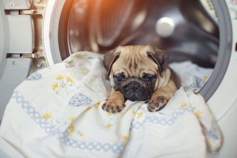 Le roquet de chiot se trouve sur le linge de lit dans la machine à laver Un beau petit chien beige est triste dans la salle de ba photographie stock