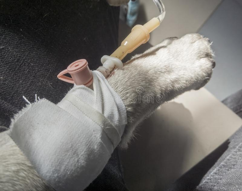 Le roquet re?oit l'infusion intraveineuse par un cath?ter p?riph?rique Chien dans la clinique v?t?rinaire photo stock