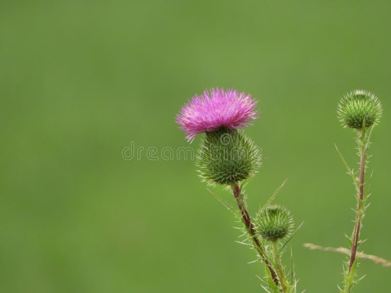 Le rose écossais de chardon fleurit et des épines sur le fond vert photographie stock