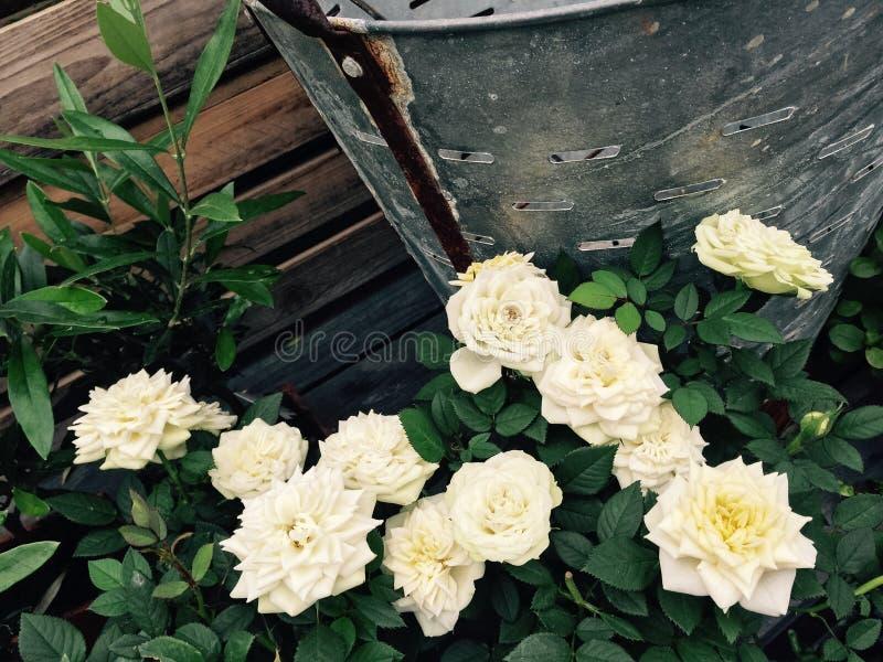 Le rose bianche di retro estate di stile fanno il giardinaggio fotografie stock