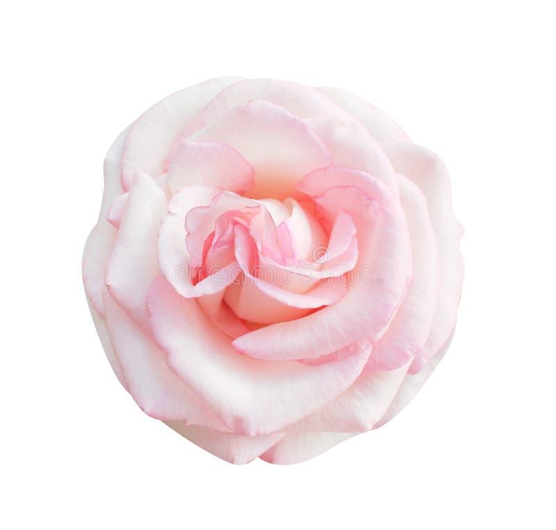 Le rose coloré a monté vue supérieure de floraison de fleurs d'isolement sur le fond blanc, beaux modèles naturels photo libre de droits