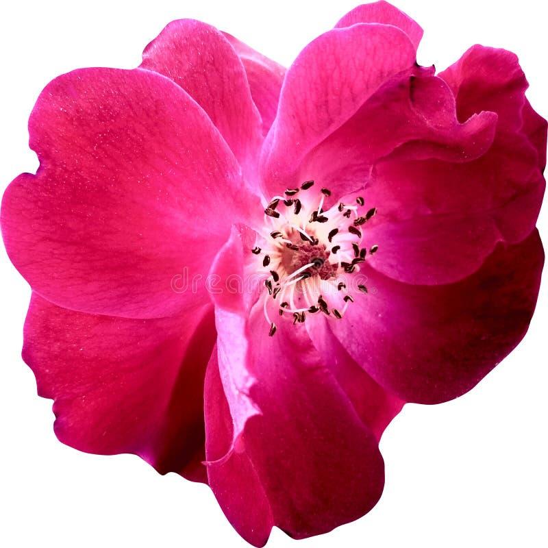 Le rose de vue supérieure a monté des fleurs d'isolement sur le fond blanc image libre de droits