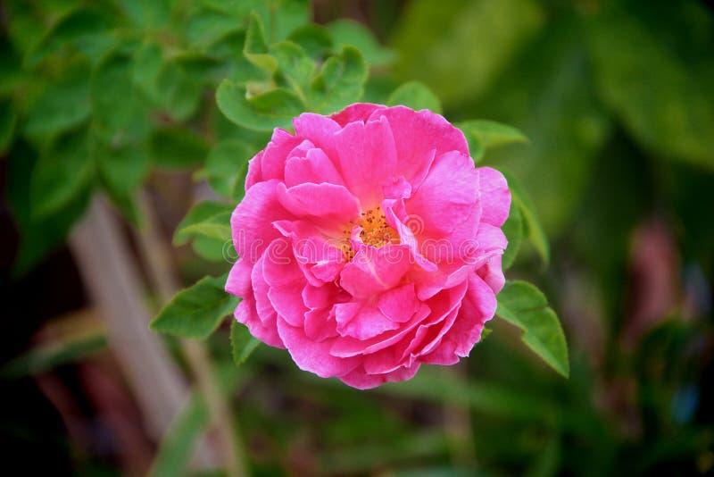 Le rose doux de fleur colorée simple de nature a monté fleurissant dans la vue supérieure de jardin photos stock