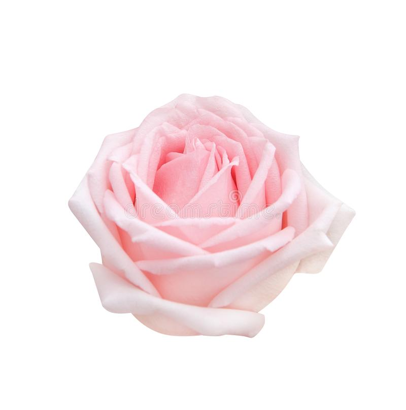 Le rose doux simple a monté floraison de tête de fleurs d'isolement sur le fond blanc avec le chemin de coupure, beaux modèles na photographie stock libre de droits
