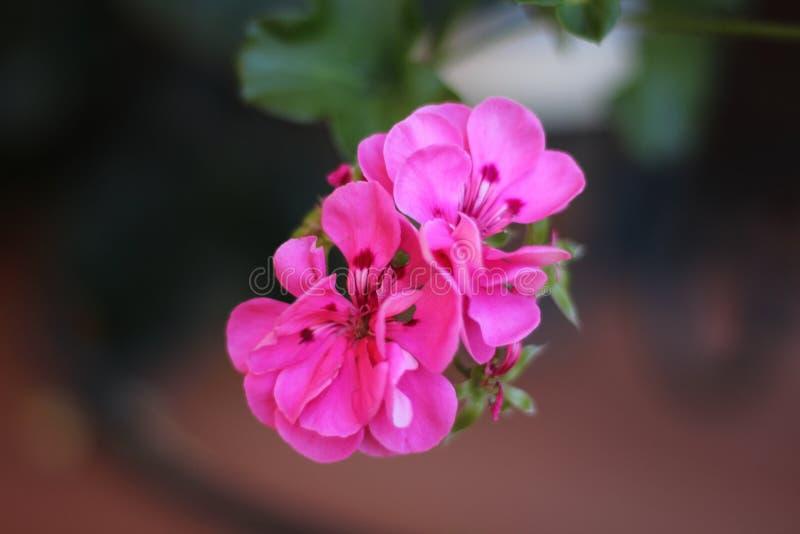 Le rose a fleuri l'usine au printemps photo stock