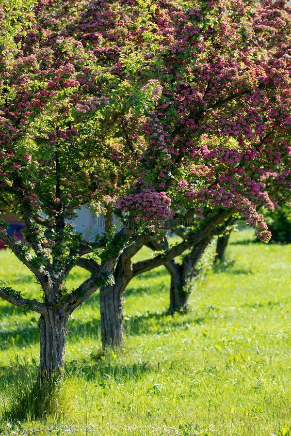 Le rose fleurit l'arbre d'aubépine photographie stock libre de droits