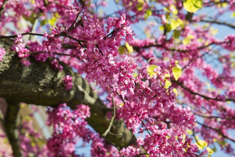 Le rose fleurit l'arbre ou le Cercis de judas photographie stock