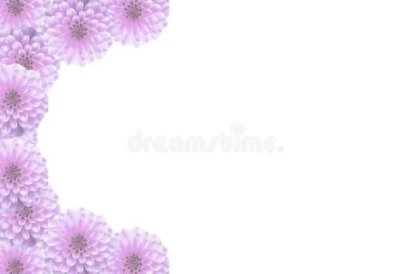 Le rose floral de carte postale fleurit le dahlia sur les couleurs blanches et en pastel illustration libre de droits