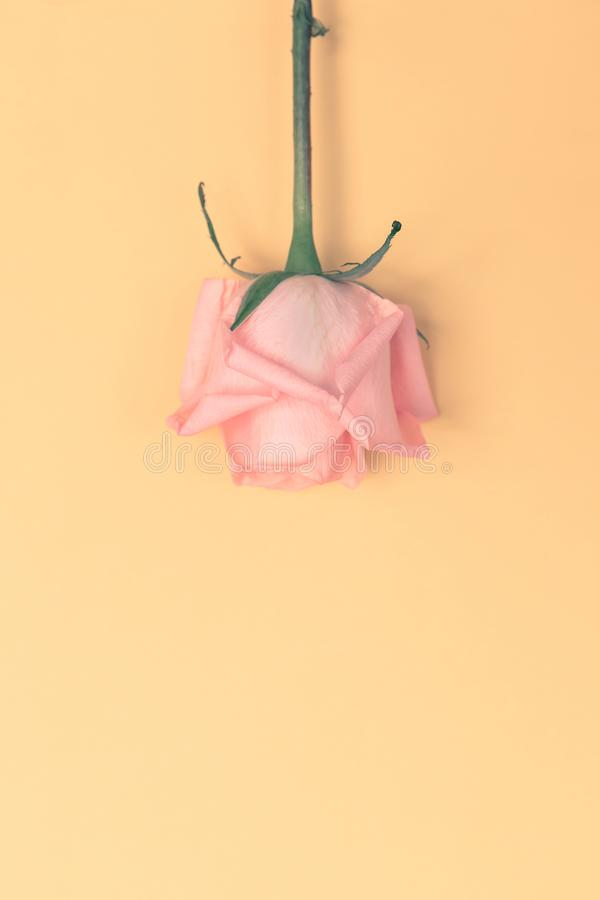 Le rose frais de coeur d'amour de Valentine a mont? sur le jaune images libres de droits