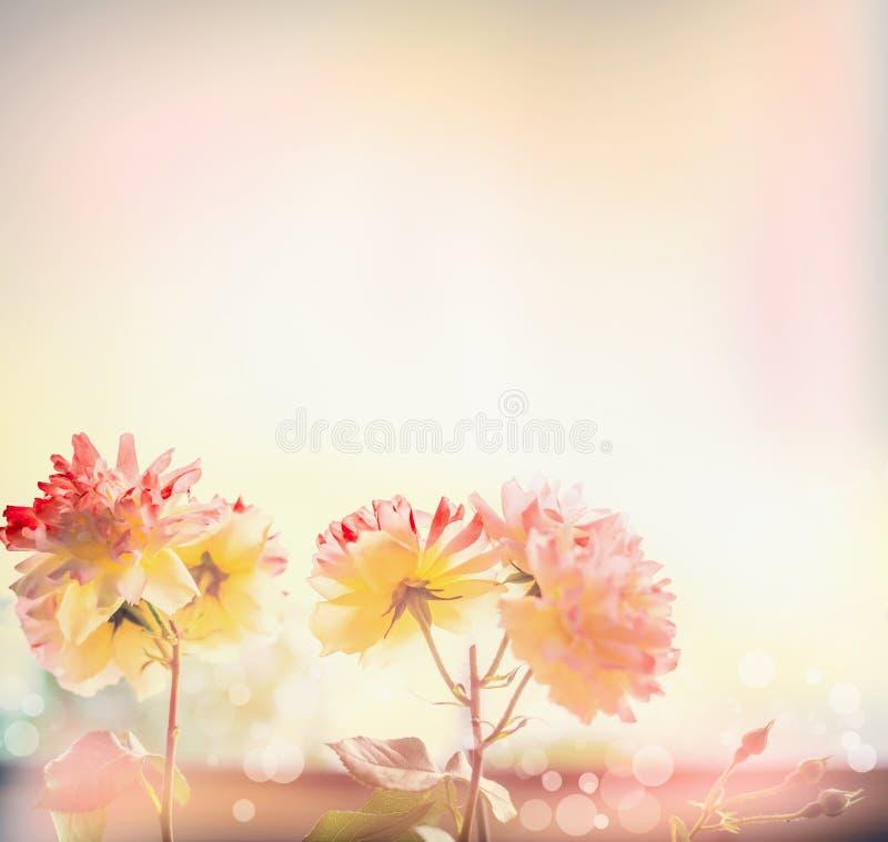 Le rose gialle abbastanza rosse fiorisce al sole, fondo all'aperto della natura fotografia stock libera da diritti